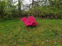 Roze Posey& x27; s door de omheining stock fotografie