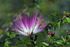 Roze powderpuff of Calliandra brevipes Stock Afbeelding