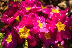 Roze Primula's stock afbeeldingen