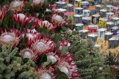 Roze protea bloeit, nationale bloem van Zuid-Afrika, op vertoning in Chelsea Flower Show London stock foto