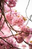 Roze prunus van de kersenbloesem aan bruine takken in een boomgaard Royalty-vrije Stock Afbeeldingen