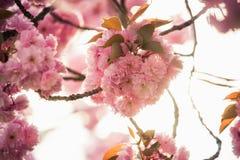 Roze prunus van de kersenbloesem aan bruine takken in een boomgaard Stock Fotografie