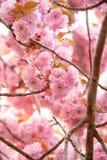 Roze prunus van de kersenbloesem aan bruine takken in een boomgaard Stock Afbeeldingen