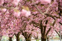 Roze prunus van de kersenbloesem aan bruine takken in een boomgaard Stock Foto's