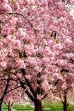 Roze prunus van de kersenbloesem aan bruine takken in een boomgaard Royalty-vrije Stock Foto