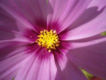 Roze purpere bloem Stock Afbeeldingen