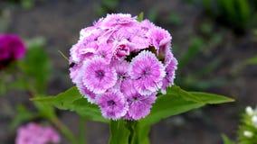 Roze purpere bloem die uit veelvoudige kleinere bloemen op groene achtergrond bestaan stock foto
