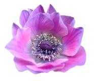 Roze purpere lisa van Mona bloost bloem isoleert op wit Royalty-vrije Stock Foto