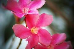 Roze/Purpere Oleanderbloemen royalty-vrije stock afbeelding