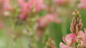 Roze purpere violette bloemenwildflowers op de weide Royalty-vrije Stock Foto