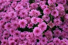 Roze/purple weinig macroachtergrond van de mumbloem Royalty-vrije Stock Fotografie