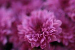 Roze/purple weinig macroachtergrond van de mumbloem Royalty-vrije Stock Afbeelding