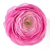 Roze ranunculus royalty-vrije stock afbeeldingen