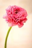 Roze Ranunculus Stock Foto's