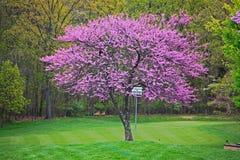 Roze Redbud-Boom royalty-vrije stock afbeeldingen
