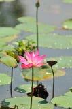 Roze Reeks 4 van de Waterlelie Royalty-vrije Stock Foto's