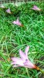 Roze regenlelie Stock Afbeeldingen