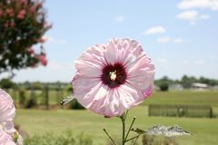 Roze Reuzehibiscus Rose Mallow Perennial royalty-vrije stock foto