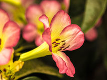Roze Rhody Royalty-vrije Stock Foto's