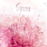 Roze, rode en witte Chrysantenachtergrond Royalty-vrije Stock Foto