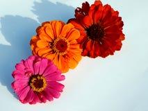 Roze, Rode, Oranje Zinnia Royalty-vrije Stock Foto