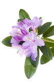 Roze rododendron Stock Afbeelding