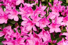 Roze rododendron Stock Fotografie