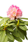 Roze rododendron Royalty-vrije Stock Afbeelding