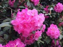 Roze rododendron Stock Afbeeldingen