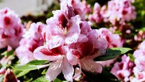 Roze rododendron in dalingen van dauw Stock Foto