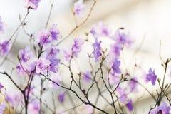 Roze rododendron in de lente stock afbeeldingen