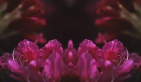 Roze Rododendronbezinning Stock Afbeeldingen