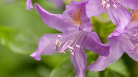 Roze rododendronbloem die lichtjes in de wind slingeren stock video