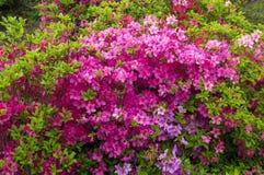 Roze rododendronbloemen op de achtergrond van de de lentetuin Stock Fotografie