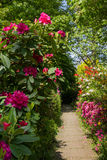 Roze rododendrons in de tuin Stock Afbeeldingen
