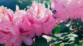 Roze rododendrons in de zon Royalty-vrije Stock Afbeelding