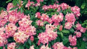 Roze rododendrons op de struiken Stock Foto's