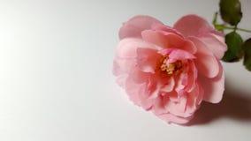 Roze rose05 Royalty-vrije Stock Foto's