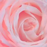 Roze Rose Background - de Foto's van de Bloemvoorraad Stock Afbeeldingen