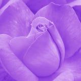 Roze Rose Background - de Foto's van de Bloemvoorraad Stock Afbeelding