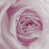 Roze Rose Background - de Foto's van de Bloemvoorraad Stock Foto