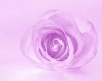 Roze Rose Background - de Foto's van de Bloemvoorraad Royalty-vrije Stock Afbeeldingen