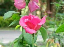 Roze Rose Blooming in Tuin stock fotografie