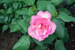 Roze Rose Blooming in Tuin royalty-vrije stock afbeeldingen