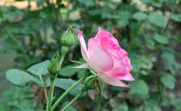 Roze Rose Blooming in Tuin royalty-vrije stock foto's