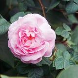 Roze Rose Blooming in Tuin royalty-vrije stock foto