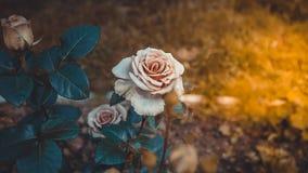 Roze Rose Bush Buds Sunlight Vintage-Stijl Openlucht Stock Afbeelding