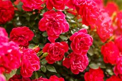 Roze Rose Bushes Blooming Garden Summer stock foto