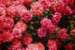 Roze Rose Bushes Blooming Garden Summer royalty-vrije stock afbeelding