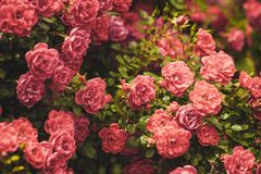 Roze Rose Bushes Blooming Garden Summer stock foto's
